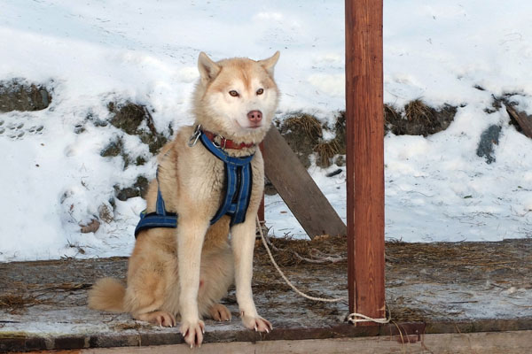 husky with dog harness