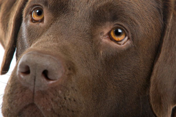 image of a chocolate labrador