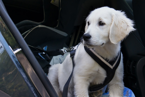 puppy with harness