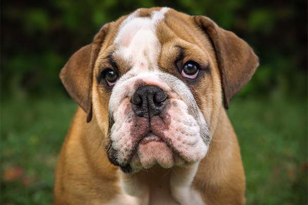 Bulldog Dog Breed