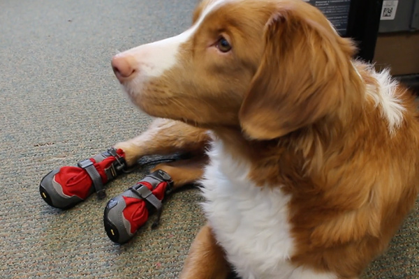 Should your dog wear dog booties