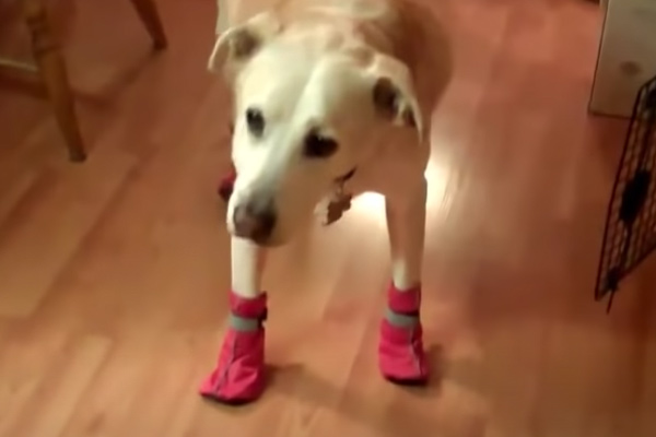 dog getting used to dog booties
