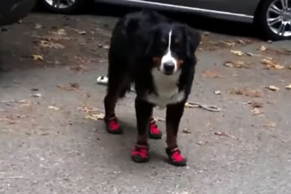 dog getting used to wearing dog booties