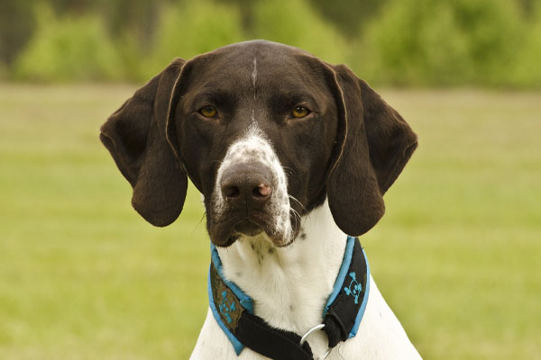 german shorthaired pointer facts