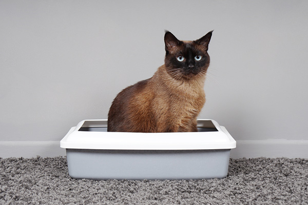 training a cat to use a litter box