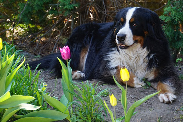 Bernese Mountain Dog Facts