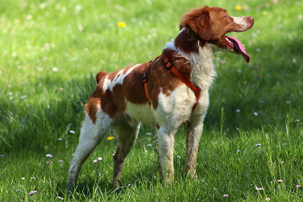 Brittany Dog Facts
