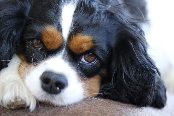 Cavalier King Charles Spaniel Dag Breed