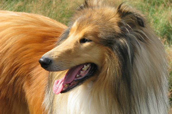 Collie Dog Breed