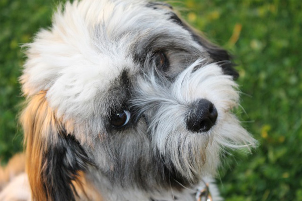Havanese Facts