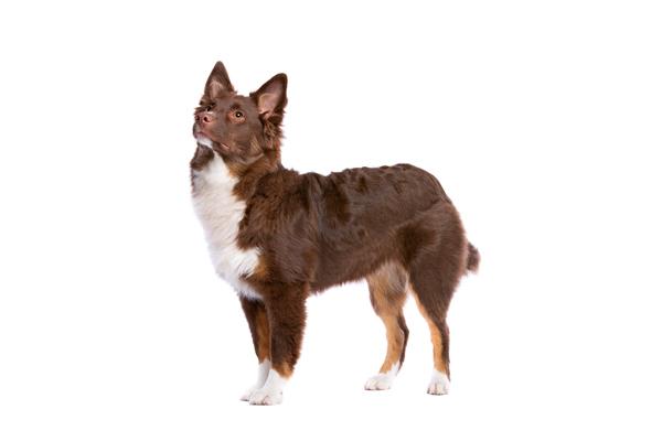 Miniature American Shepherd Dog Breed