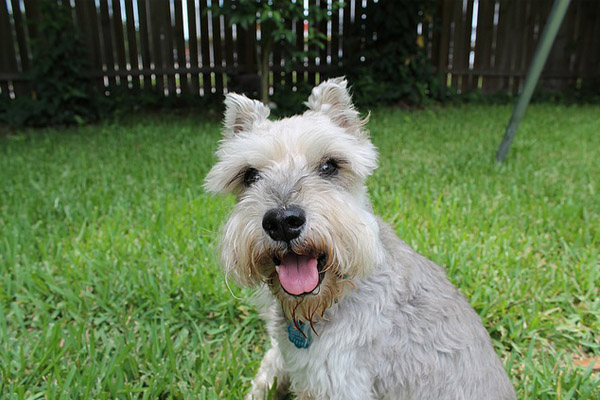Miniature Schnauzer Dog Breed