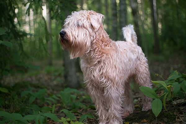 Puppy Soft Coated Wheaten Terrier