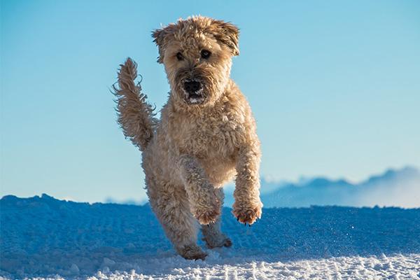 Soft Coated Wheaten Terrier Dog
