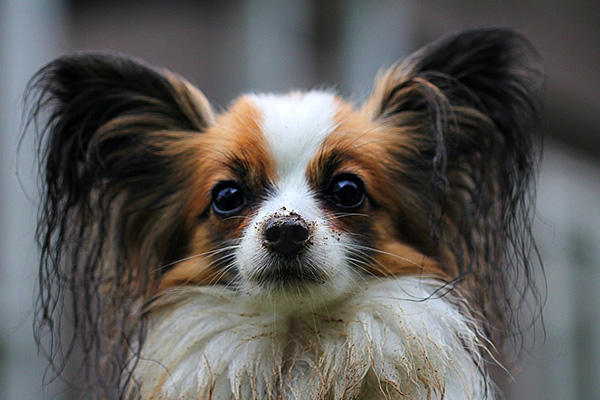 Toy Dog Breed - Papillon