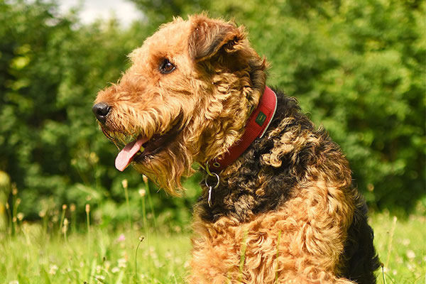 Airedale Terrier Puppy