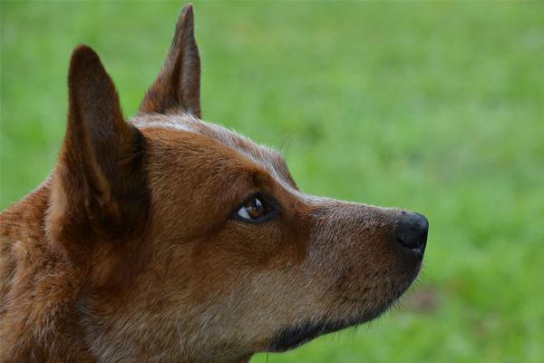 Australian Cattle Dog Dog Breed