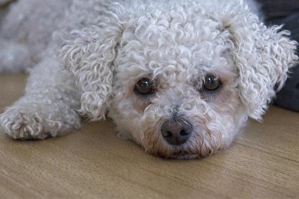 Bichons Frises Dog Breed
