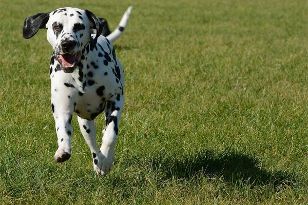 Dalmatian Facts
