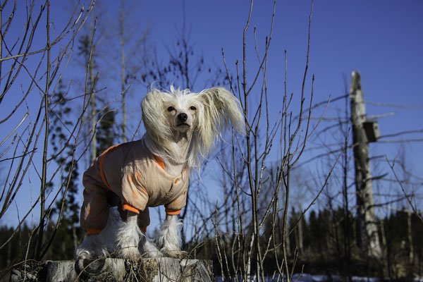 Chinese Crested Dog Facts