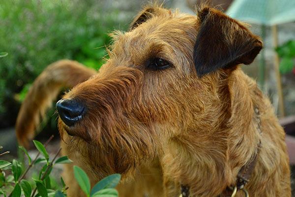 Irish Terrier Breed