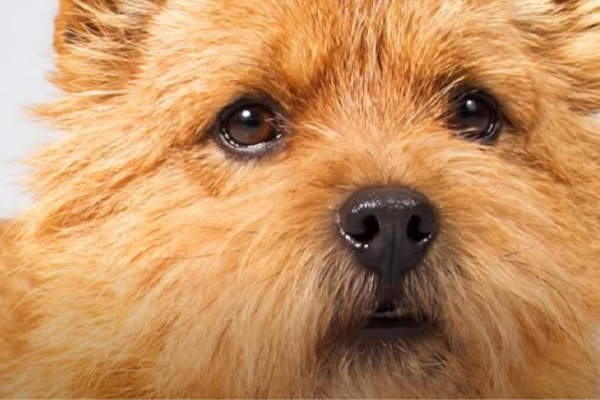 Norwich Terrier Facts