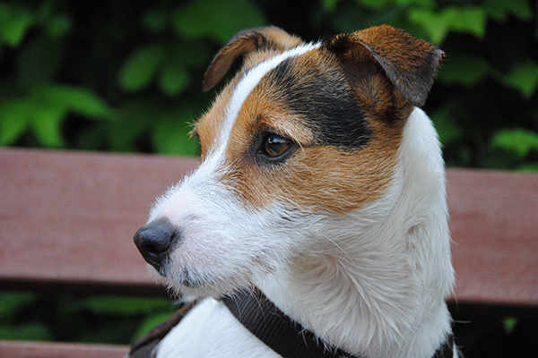 Russel Terrier Dog