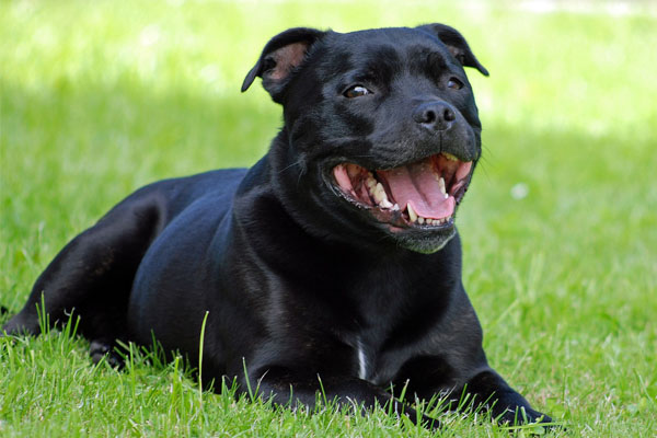 Staffordshire Bull Terrier Care Requirements