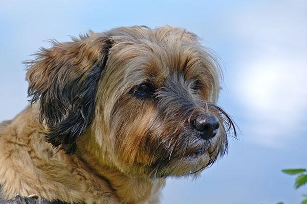 Tibetan Terrier Breed