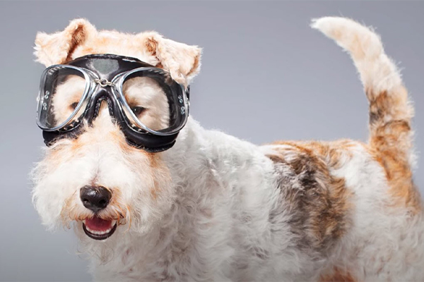 Wire Fox Terrier Facts