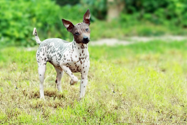 American Hairless Terrier Care