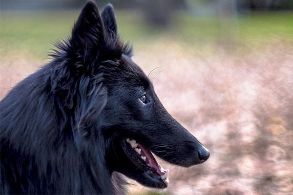 Belgian Sheepdog Breed