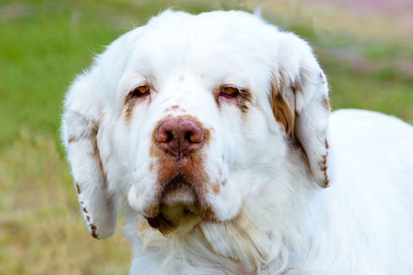 Clumber Spaniel Facts
