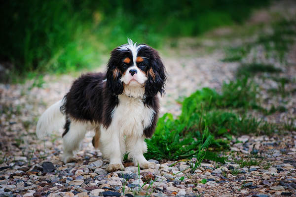 English Toy Spaniel Facts