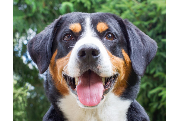 Entlebucher Mountain Dog Care Requirements