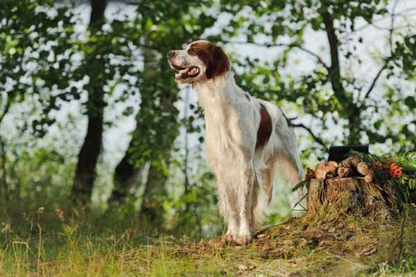 Irish Red and White Setter Dog Breed