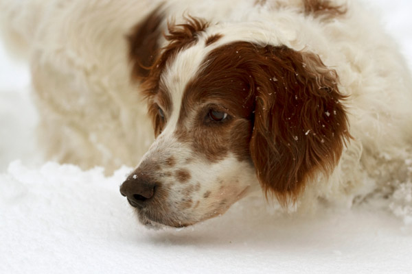 Irish Red and White Setter Facts