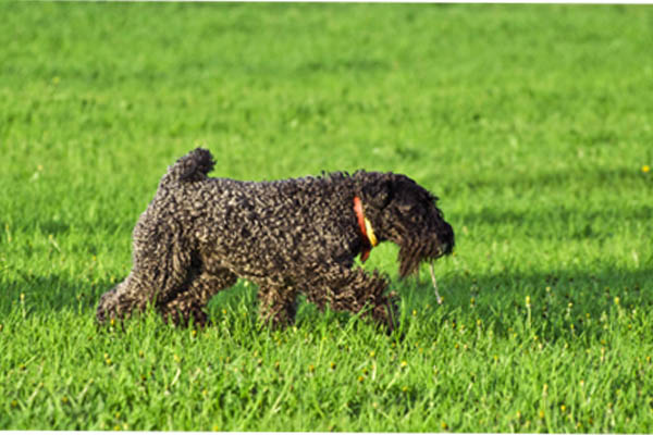 Kerry Blue Terrier Care
