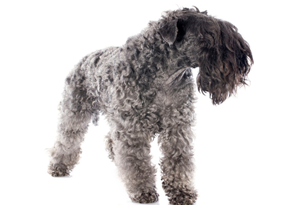 Kerry Blue Terrier Facts