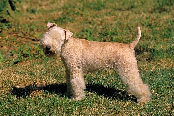 Lakeland Terrier Facts