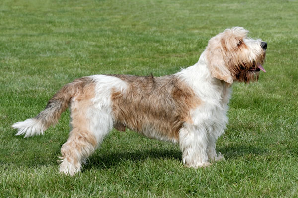 Petit Basset Griffon Vendéen Dog Breed