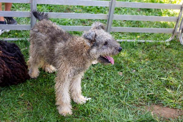 Pumi Dog Breed