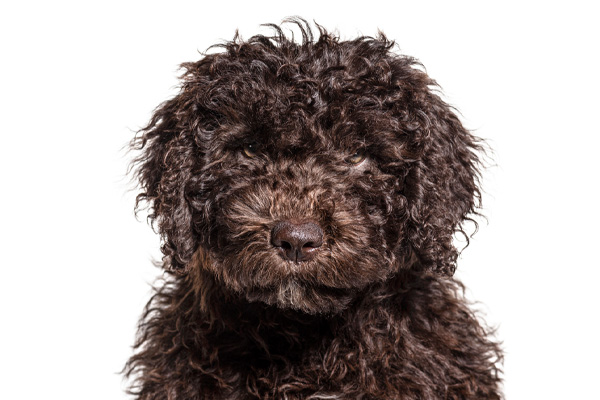 Spanish Water Dog Care Requirements