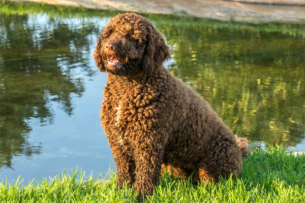 Spanish Water Dog Facts