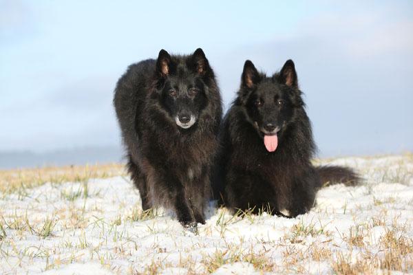 belgian sheepdog care