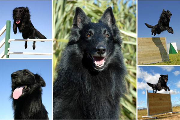 belgian sheepdog dog breed