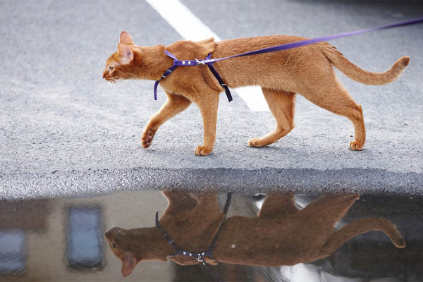 cat wearing an escape-proof cat harness while walking with a leash