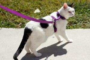 feline wearing a harness