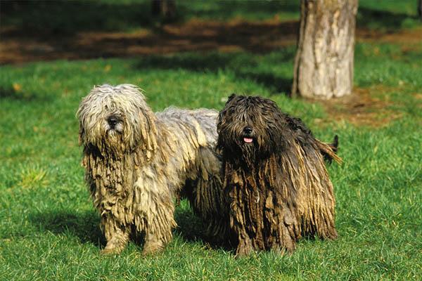 Bergamasco Sheepdog2