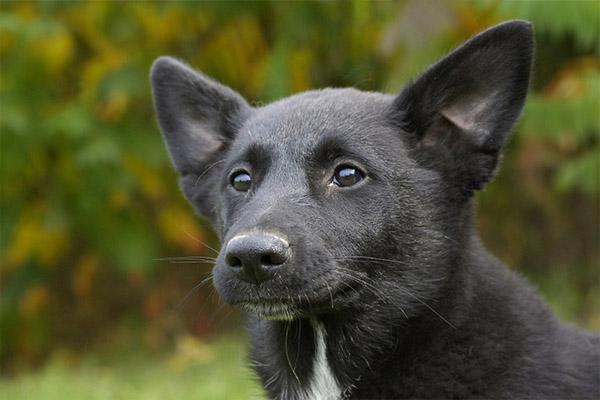 Canaan Dog2